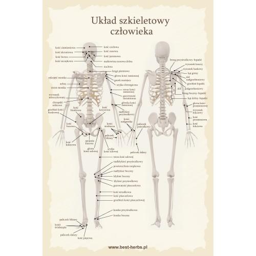 Plakat układ szkieletowy człowieka