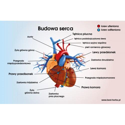Plakat budowa serca